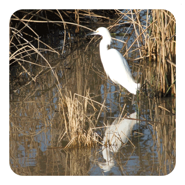 Great White Egret hunting along the edge of Franklin Hot Springs