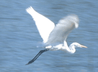 Great White Egret, Water Fowl at a Paso Robles Hot Spring