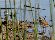 Killdeer, Water Fowl at a Paso Robles Hot Spring