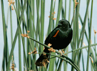 Red Winged Black Bird at Franklin Hot Springs